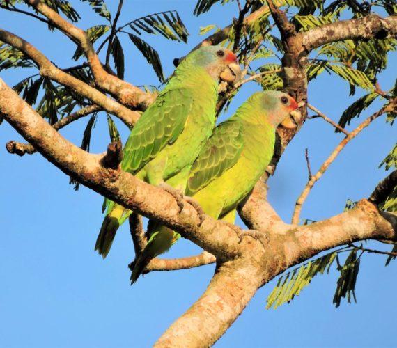 Observação de Aves – Itanhaém