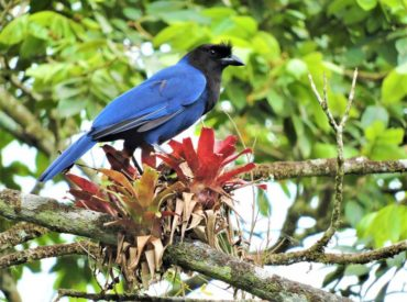 gralha-azul-Cyanocorax-caeruleus