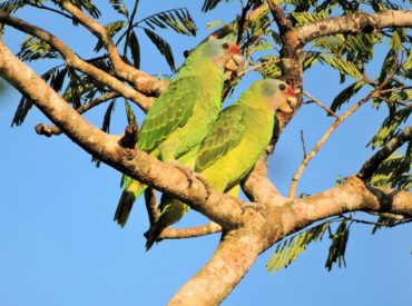 papagaio-de-cara-roxa-amazona-brasilienses