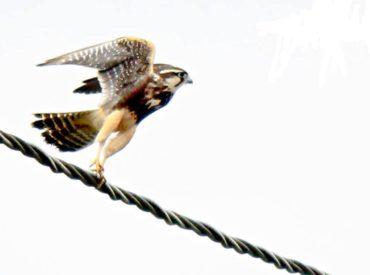 falcao-de-coleira_Falco-femoralis