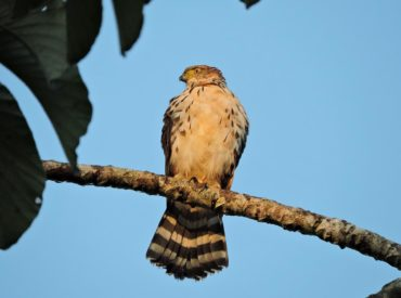gaviao-bombachinha-grande-Accipiter_bicolor