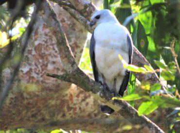 gaviao-pombo-pequeno_Amadonastur_lacernulatus